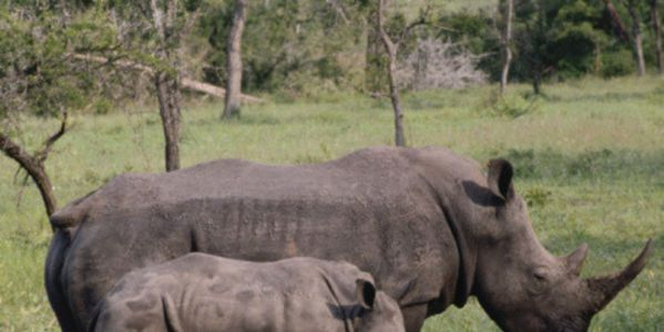 petition: Urge The Louisiana Legislature to Ban The Sale of Ivory and Rhino Horns To Protect Endangered Wildlife!