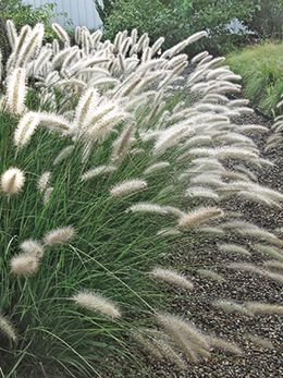Grass, Fountain Cassian. Full sun, drought tolerant