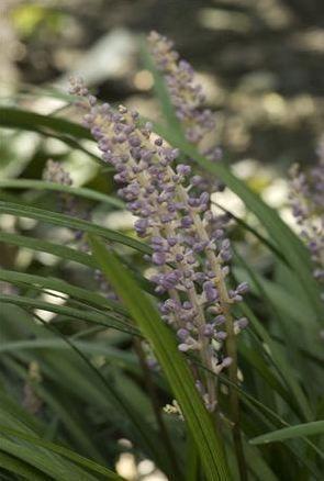 Liriope muscari 'Big Blue' Lily Turf