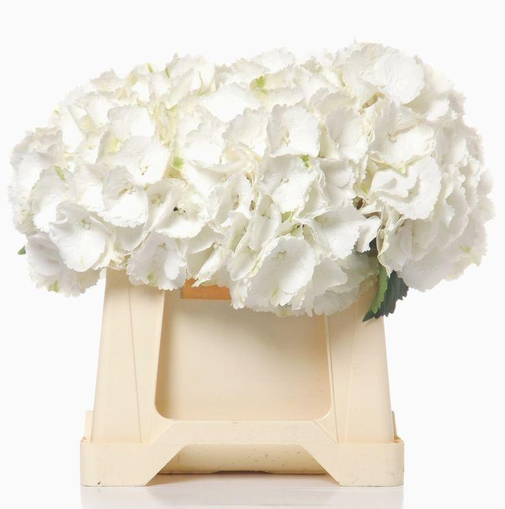 Hydrangea M. Schneeball / Snowball by grower Rob van Mastwijk