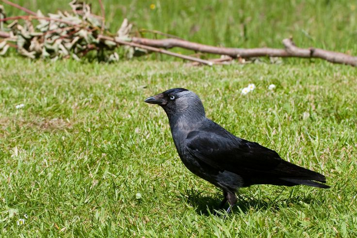 Jackdaw (Corvus monedula). The smallest of the crow family. The Jackdaw uses holes and cavities for nesting places, such as; rock crevices, caves, old buildings and sometimes chimneys.  #Birds #UK