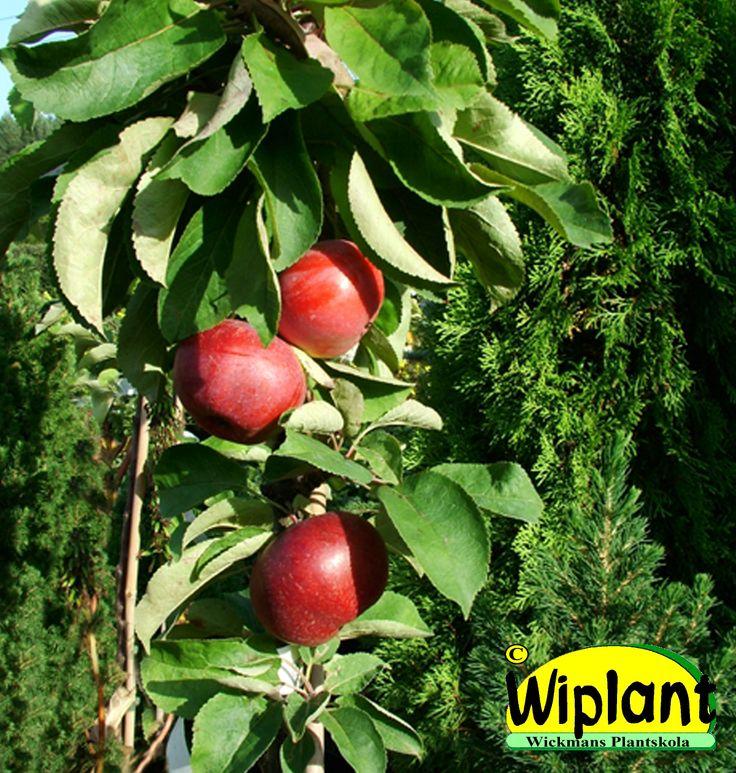 Malus dom. 'Dzin'/'Arbat', Pelaräppelträd. Bör stödas. Höjd: 2 m.