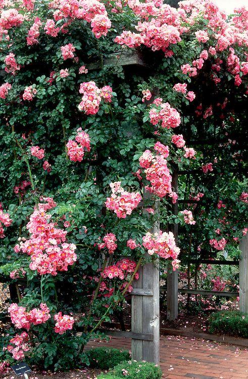 Rosa American Pillar Climbing Rose Over Trellis Pink