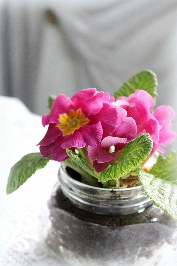 Die besten 25 primeln ideen auf pinterest samenkapseln samen und glasglocken dekor - Pflegeleichte zimmerpflanzen mit bluten ...