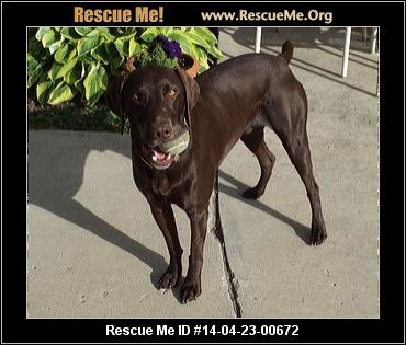 Roscoe in Gig Harbor!!! ― Washington German Shorthaired Pointer Rescue ― ADOPTIONS ―RescueMe.Org