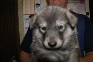 Nikita Puppy #3 Nani is an adoptable Siberian Husky Dog in Harvard, IL. Free Spirit Siberian Rescue  I am Female that is 2m old Breed Husky Mix I weight about 15 lbs. I have Blue eyes with a Gray/Whi...
