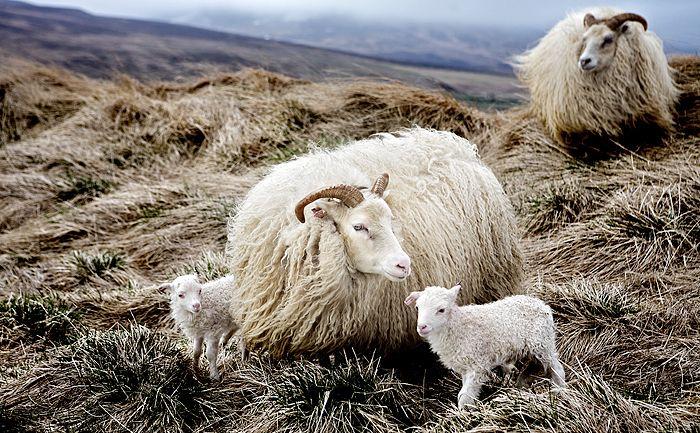 beautiful - icelandic sheep