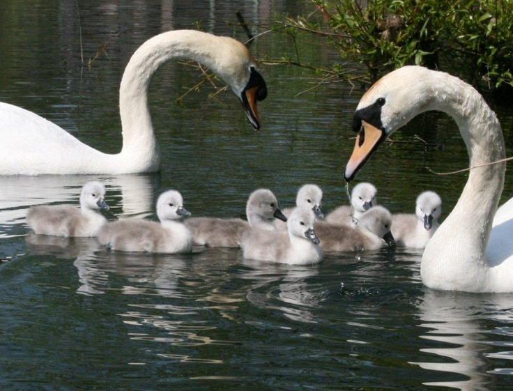 A beautiful shot of our 2012 cygnets -  some of them like it so much they haven't left