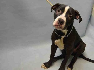 NEEDS FOLLOW UP VET CARE!! SUPER URGENT 11/28/16 Brooklyn Center MIDNIGHT – A1097928  **NEEDS FOLLOW UP VET CARE**  NEUTERED MALE, BLACK / WHITE, AM PIT BULL TER / CANE CORSO, 7 mos OWNER SUR – EVALUATE, HOLD RELEASED Reason DESTRUCTIV Intake condition UNSPECIFIE Intake Date 11/26/2016, From NY 11207, DueOut Date 11/26/2016,