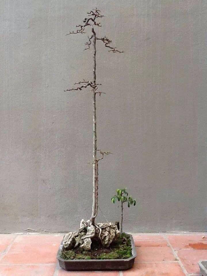 5f7d6d4d9d9ddd462fc312c973b31ede Bonsai Houseplants on bonsai photography, bonsai books, bonsai roses, bonsai landscaping, bonsai gardening, bonsai citrus, bonsai containers, national bonsai foundation, bonsai cactus, bonsai care, bonsai fertilizer, bonsai herbs, bonsai bamboo, bonsai greenhouse, bonsai succulents, bonsai pests, bonsai pottery, bonsai plants, indoor bonsai, bonsai seedlings, bonsai shrubs, bonsai design,