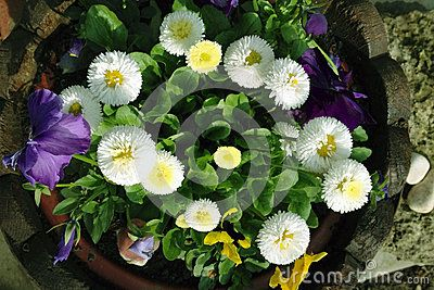 Download Daisy Royalty Free Stock Images for free or as low as 0.68 lei. New users enjoy 60% OFF. 22,949,468 high-resolution stock photos and vector illustrations. Image: 39875359