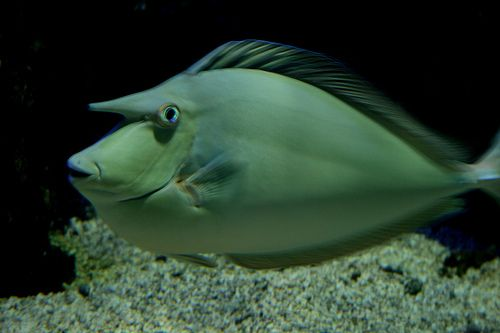 unicorn fish Creatures of our World Pinterest