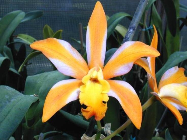 LaeliocattleyaLc. Magic Bell `New Trick'Beautiful Flower, Magic Belle, Future Plants, Fairies Gardens, Mothers Nature, Laeliocattleya Lc, Yards Ideas