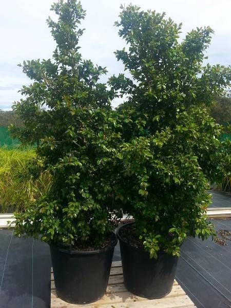 Lilly Pilly Backyard Bliss Bunnings : Lilly pilly 90 litre pots  Plants  Gumtree Australia Port Macquarie