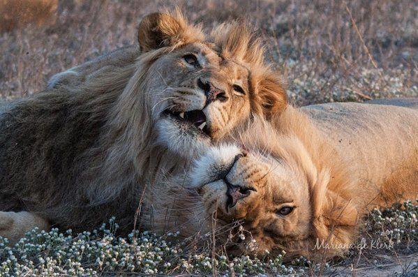 Brotherly love captured on camera by http://www.marianadeklerk.com/  #lionweek #lionlove #safari
