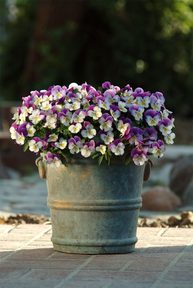 What's the difference between violas and pansies? And do they come in GREEN?? <3 favorite flower.
