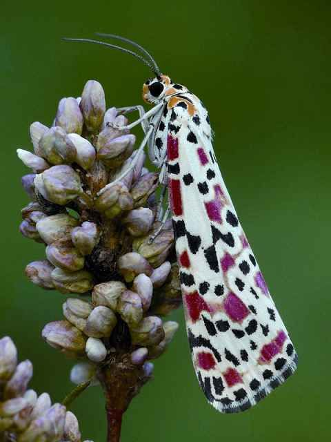 Crimson Speckled Moth. Photo by Robert Thompson.