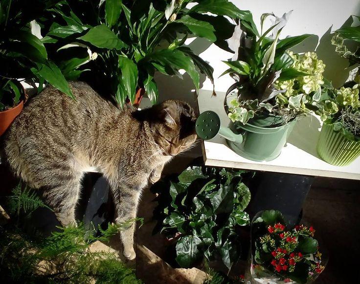 "1 aprecieri, 1 comentarii - Floraria Dorothy's (@florariadorothys) pe Instagram: ""Soooo lazy... #grigore #catintheflowershop #clujca#napocats #catsofcluj #cluj #clujlife #clujnapoca…"""
