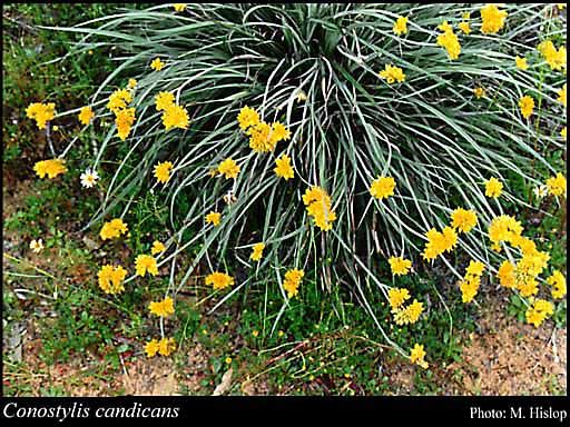 Conostylis candicans (grey cottonhead) Attractive clumping grass 30cm high x 30cm across Yellow flowers winter and spring Full sun All soils