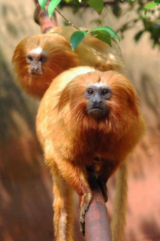Golden lion tamarin                                                                                                                                                                                 More