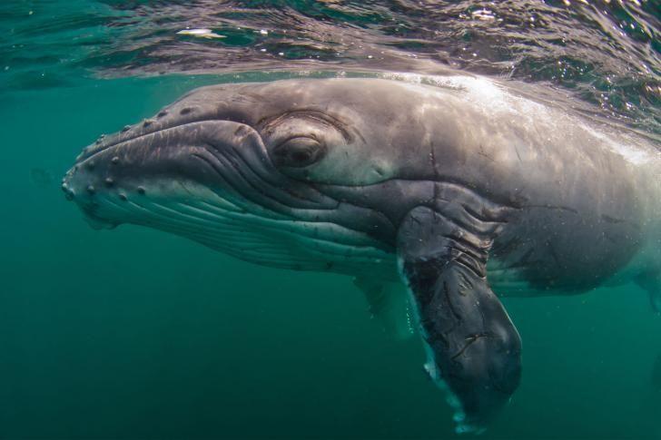 Knölvalar försvarar andra djur mot späckhuggare | Illustrerad Vetenskap