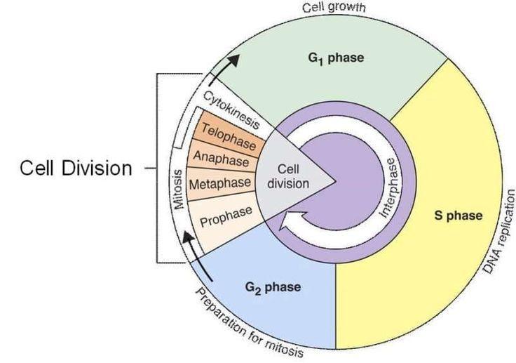 Mitosis cycle #mitosis #cycle , mitosezyklus , cycle de ...