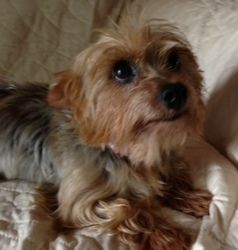 Cowgirl is an adoptable Yorkshire Terrier Yorkie Dog in Dallas, TX. Cowgirl is an 8 pound Yorkie turned into a kill shelter as a breeder release. She is about 6 years old, very friendly but a little s...