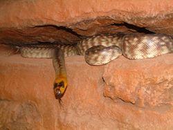 Woma Python #australia #downunder #downundertrip