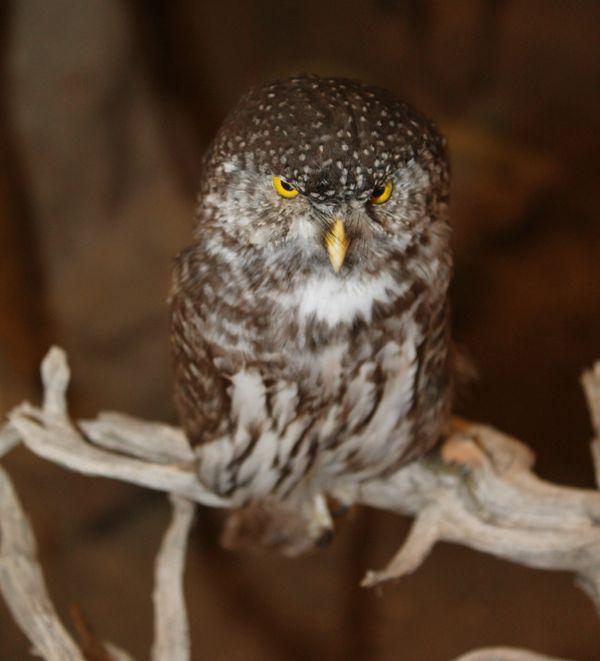 Eurasian pygmy owl. Learn more: http://meteoramuseum.gr/en/eurasian-pygmy-owl/