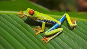 Red-eyed Tree Frog Extinction that killed the dinosaurs may have led to frog explosion