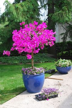 a bougainvillea tree in urn is also ok...not the color - Google Search