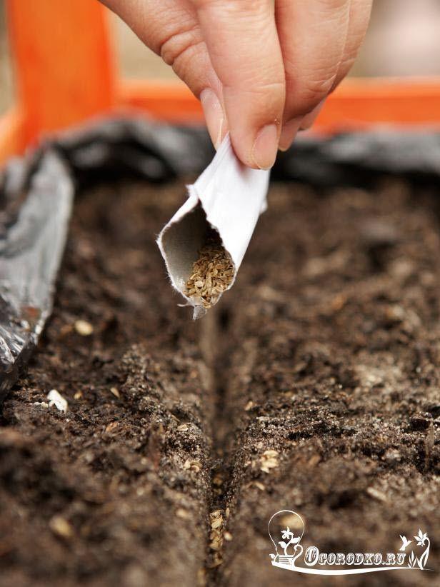 Как сажать морковь - способы и сроки посадки