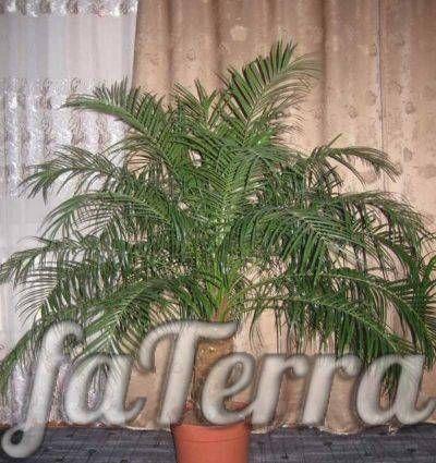 Фото финиковая пальма уход