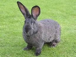 British Giant - ever wanted to become a rabbit farmer? This breed is excellent for commercial rabbit farming: http://moneymakerskenya.com/moneyblog/how-to-make-money-rabbit-farming/