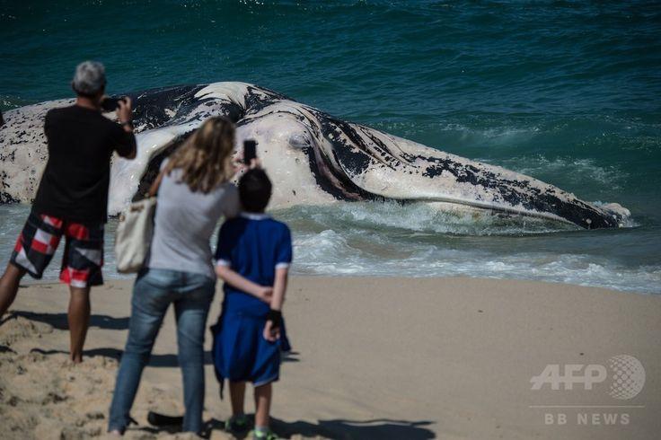 ブラジル・リオデジャネイロ(Rio de Janeiro)のマクンバビーチ(Macumba Beach)に打ち上げられたザトウクジラの死骸(2014年8月11日撮影)。(c)AFP/YASUYOSHI CHIBA ▼12Aug2014AFP ザトウクジラの死骸、リオの海岸でみつかる http://www.afpbb.com/articles/-/3022874 #Macumba_Beach #Humpback_whale #Megaptera_novaeangliae #Baleine_a_bosse #Buckelwal #Bultrug