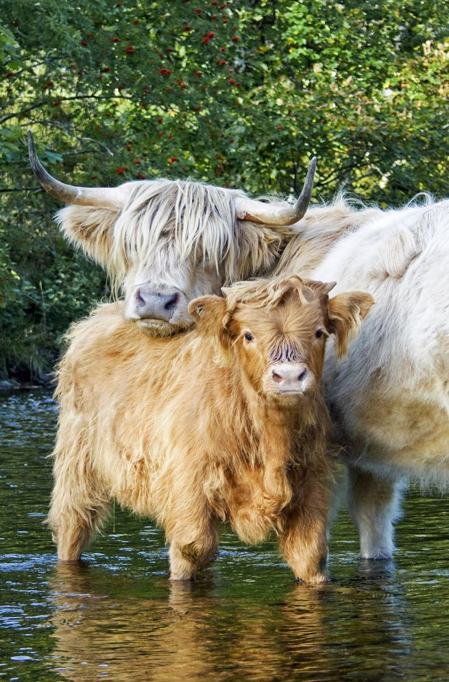 """Highland """"coo"""" and calf having an afternoon dip in the Inverie River, Knoydart, Scotland by Alexander Sutherland"""