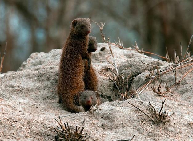SEMI FINALIST: Carrie Thurman – Dwarf mongoose