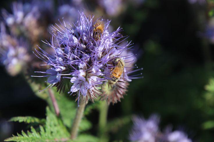 Phacelia www.myflowercart.co.nz