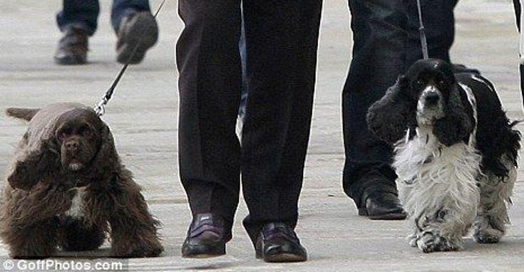 El perro de Elton John ataca a una niña de cinco años de edad: #cocker #cockerspaniel #perro #perros #eltonjohn #cantante #animales #animal #mascota #mascotas #dog #dogs #noticias #noticias #schnauzi