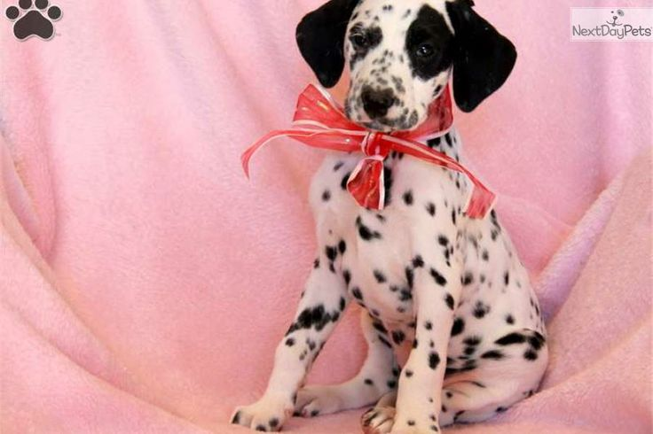 Meet Lily a cute Dalmatian puppy for sale for $700. Lily / Dalmation