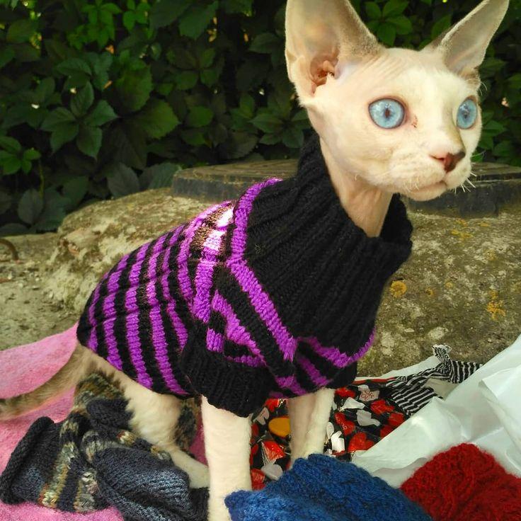 💕😍Фоточки благодарного клиента🐼💕 Очень милый девонрекс Амур в новой кофтейке😍😍 #одеждадлякошки #одеждадлякота #девонрекс #свитердлякошки#clothesforsphynx #sweaterforpets #sphynx #knittingforpets #knittingforcats #sweaterforsphynx #devonrex #knittingforpets #knitsweater #catclothing #sphynxstagram #sphynxwear #sphynxlife #catstagram #вязаниеназаказ #девонрекс #кошка #одеждадлякошек #одеждадлякотов #вязаниедляживотных #одеждадлясфинкса #сфинксы #сфинкс #сфинксомания