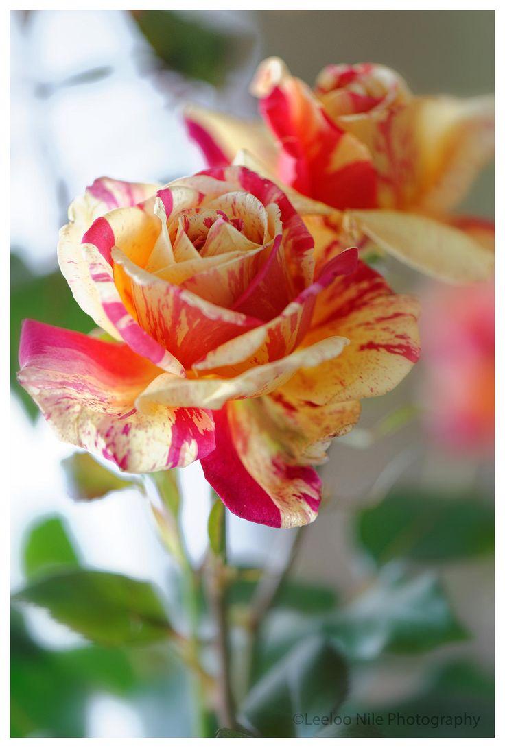 Hybrid Tea Rose: Rosa 'Brocéliande' (France, 2000)