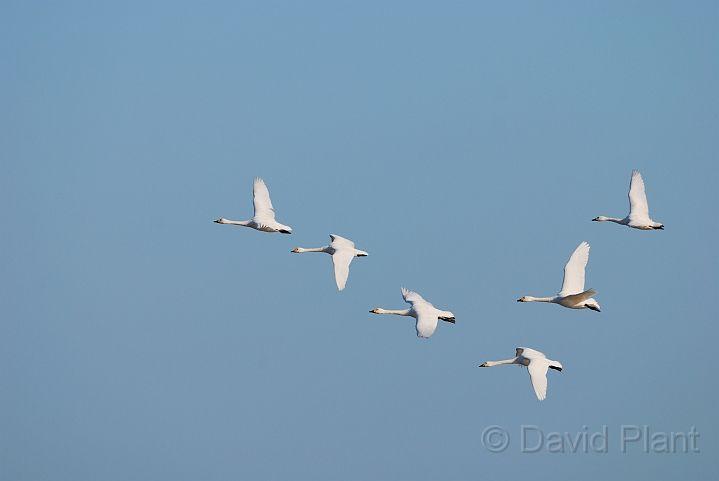 Bewick's swans flying - D.jpg - Bewick's swans in flight - Slimbridge