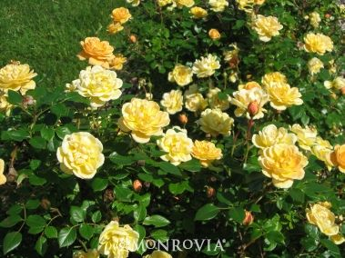 Monrovia's Sunrosa™ Yellow Shrub Rose details and information. Learn more about Monrovia plants and best practices for best possible plant performance.