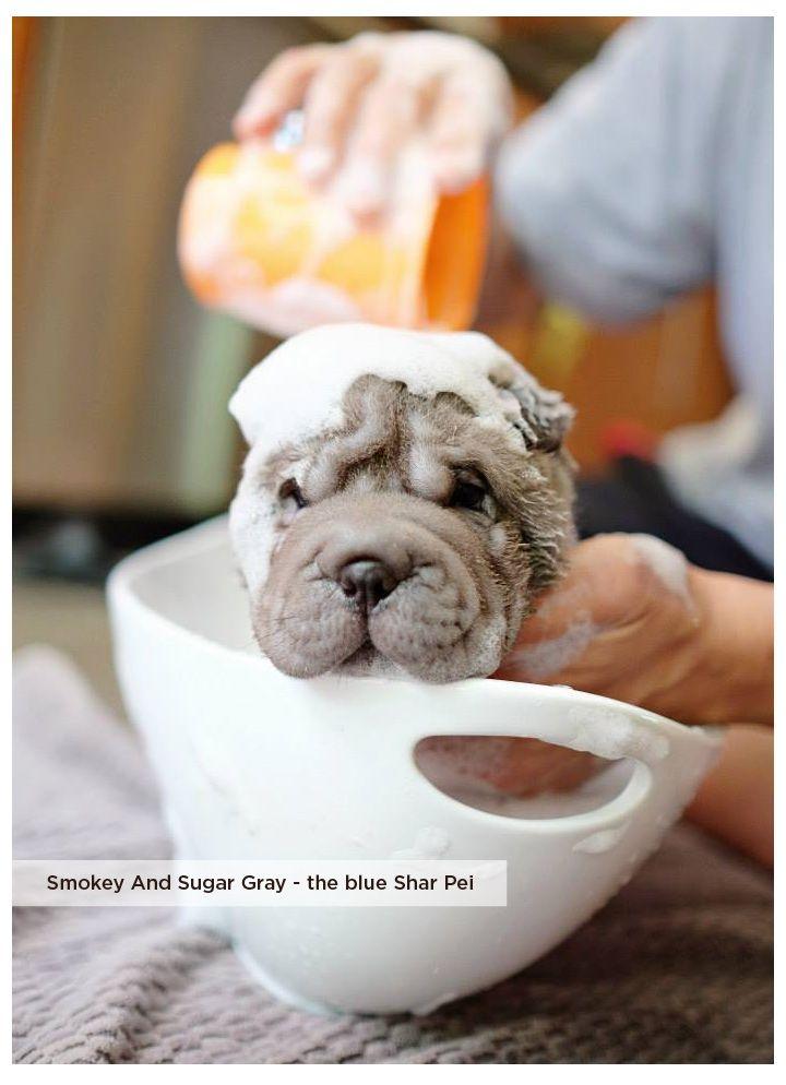 Smokey And Sugar Gray - the blue Shar Pei #sharpei #puppy #shower #cute #wrinklydog