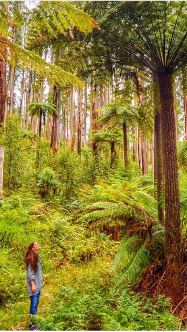 Black Spur Forest Yarra Valley, Victoria