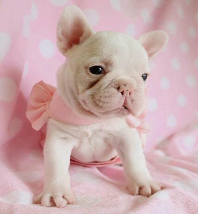French Bulldog @ Stud Tricolour Also Puppies Available in Quebec Canada