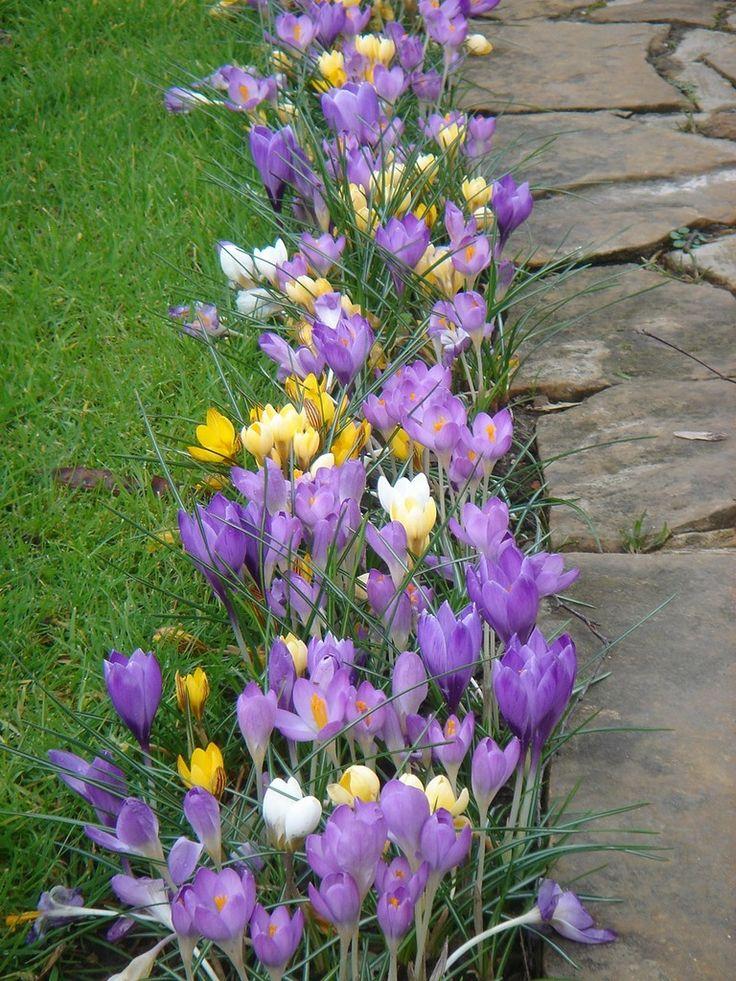 die 109 besten bilder zu krokusse (crocus) auf pinterest | gärten, Gartengerate ideen