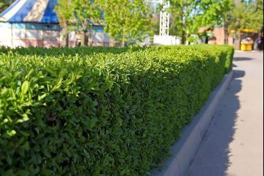 Kirschlorbeer 'Novita'  Der Prunus laurocerasus 'Novita' (Kirschlorbeer 'Novita') ist eine schnellwüchsige Pflanze mit glänzenden dunkelgrünen Blättern. Der Kirschlorbeer 'Novita' lässt sich am besten als eine verbesserte Version des Prunus laurocerasus 'Rotundifolia' (Großblättriger Kirschlorbeer) betrachten: