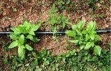 Jednou z byliniek, bez ktorej sa rad pokrmov skrátka nezaobíde, je bazalka. Táto aromatická zelená rastlina si získava veľkú obľubu. Ako pestovať bazalku?